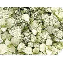 Fittonia FloraSelf Fittonia verschaffeltii ''White Forest Flame'' H 10-15 cm pot Ø 12 cm-thumb-0