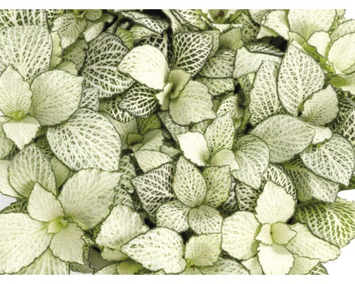 Fittonia FloraSelf Fittonia verschaffeltii ''White Forest Flame'' H 10-15 cm pot Ø 12 cm-0