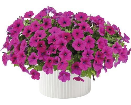 Pétunia FloraSelf® Petunia x atkinsiana pot de 12cm rose vif