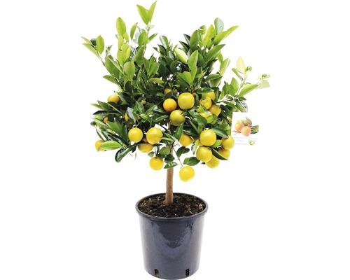 Oranger nain arbuste Citrofortunella mitis pot Ø 21 cm