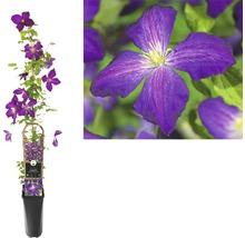 Clématite FloraSelf Clematis x Hybride ''Jackmanii Purpurea PBR'' Co 2,3l-thumb-1