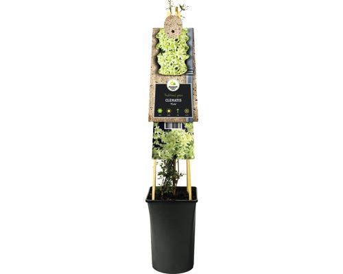 Clématite des haies FloraSelf Clematis-Cultivars ''Pixie'' H50-70 cm Co 2,3 L