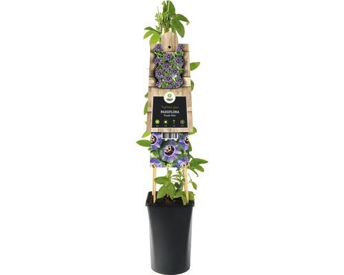 Fleur de la passion FloraSelf Passiflora-Cultivars «Purple Rain» H50-70cm Co 2,3l