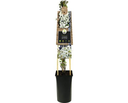 Clématite FloraSelf Clematis-Cultivars ''Early Sensation'' h 50-70 cm Co 2,3 l