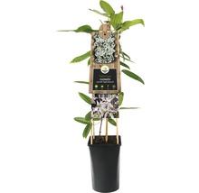 Waldrebe FloraSelf Clematis armandii ''Apple Blossom'' H 50-70 cm Co 2,3 L-thumb-1