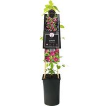 Waldrebe FloraSelf Clematis-Cultivars ''Princess Diana'' H 50-70 cm Co 2,3 L-thumb-1