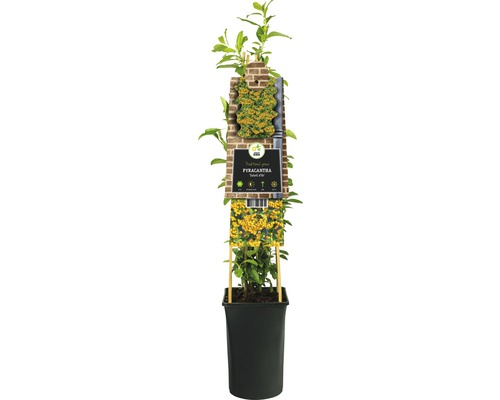 Buisson ardent FloraSelf Pyracantha-Cultivars ''Soleil d''Or'' H50-70cm Co 2,3l