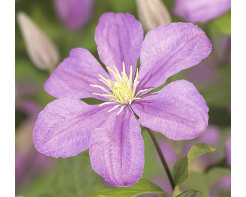 Waldrebe FloraSelf Clematis-Cultivars ''Comtesse de Bouchaud'' H 50-70 cm Co 2,3 L
