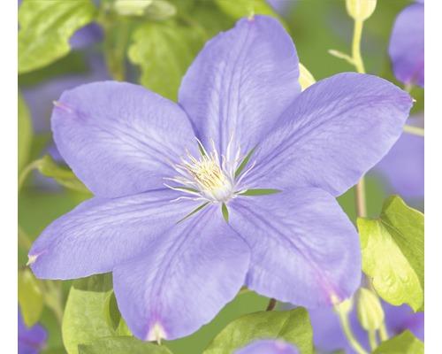 Waldrebe FloraSelf Clematis-Cultivars ''Mrs. Cholmondeley'' H 50-70 cm Co 2,3 L