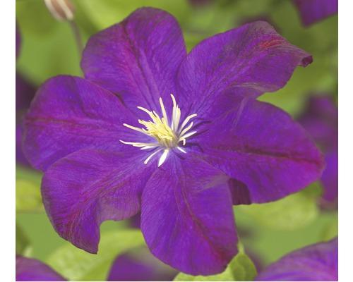Waldrebe FloraSelf Clematis-Cultivars ''Voluceau'' H 50-70 cm Co 2,3 L