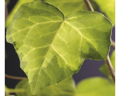 Efeu FloraSelf Hedera cochica ''Sulphur Heart'' H 50-70 cm Co 2,3 L