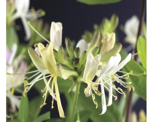 Geissblatt, Heckenkirsche FloraSelf Lonicera periclymenum ''Belgica Select'' H 50-70 cm Co 2,3 L