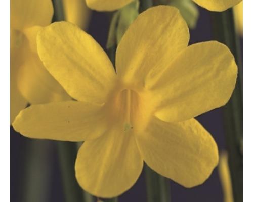 Winter Jasmin FloraSelf Jasminum nudiflorum H 50-70 cm Co 2,3 L