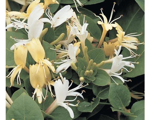Geissblatt, Heckenkirsche FloraSelf Lonicera japonica ''Hall''s Prolific'' H 50-70 cm Co 2,3 L