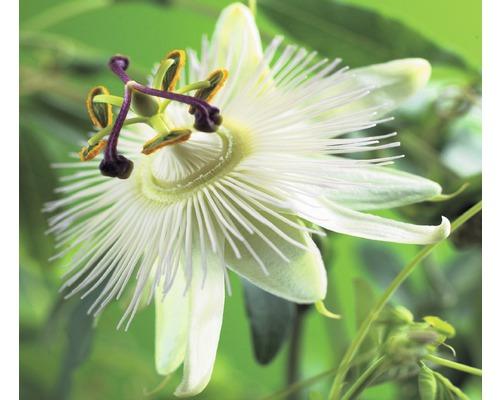Fleur de la passion FloraSelf Passiflora caerulea ''Constance Elliott'' H 50-70 cm Co 2,3 L