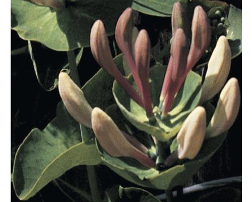 Chèvrefeuille FloraSelf Lonicera caprifolium H50-70cm Co 2,3L