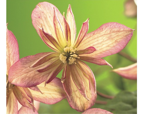 Clématite de montagne FloraSelf Clematis montana ''Marjorie'' H50-70cm Co 2,3L