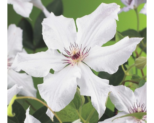 Clématite FloraSelf Clematis-Cultivars ''Snow Queen'' H50-70cm Co 2,3L