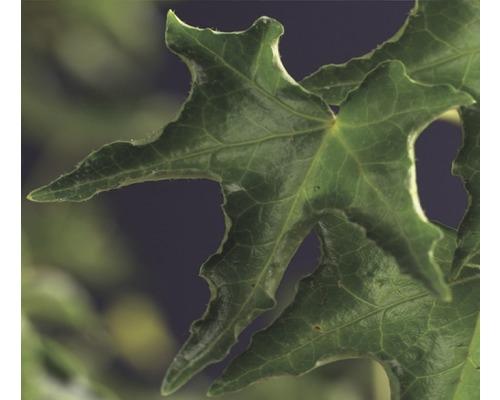 Efeu FloraSelf Hedera helix ''Ivalace'' H 50-70 cm Co 2,3 L