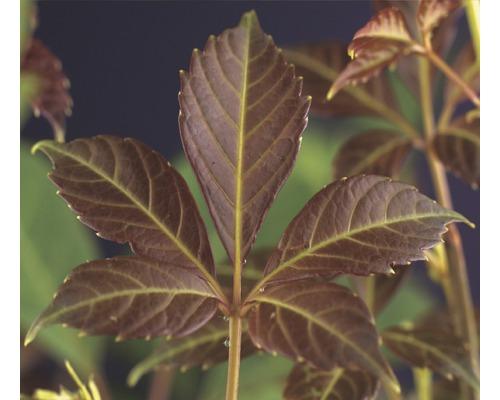 Wilder Wein FloraSelf Parthenocissus henryana H 50-70 cm Co 2,3 L