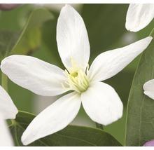Waldrebe FloraSelf Clematis armandii ''Apple Blossom'' H 50-70 cm Co 2,3 L-thumb-0