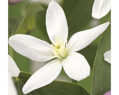 Waldrebe FloraSelf Clematis armandii ''Apple Blossom'' H 50-70 cm Co 2,3 L