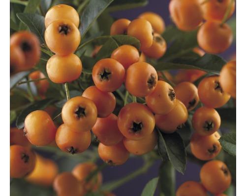 Feuerdorn FloraSelf Pyracantha-Cultivas ''Golden Charmer'' H 50-70 cm Co 2,3 L
