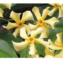 Sternjasmin FloraSelf Trachelospermum jasminoides 'Star of Toscane' PBR H 50-70 cm Co 2,3 L-thumb-0