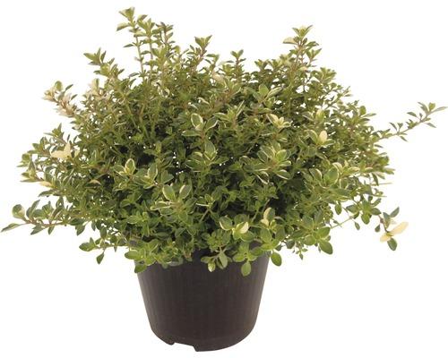 Thym argenté FloraSelf Thymus citriodorus ''Silver Queen'' pot Ø 12 cm