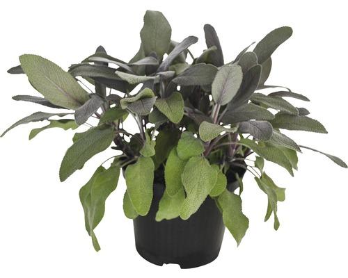 Sauge pourpre FloraSelf Salvia officinalis ''Purpurescens'' pot Ø 12 cm