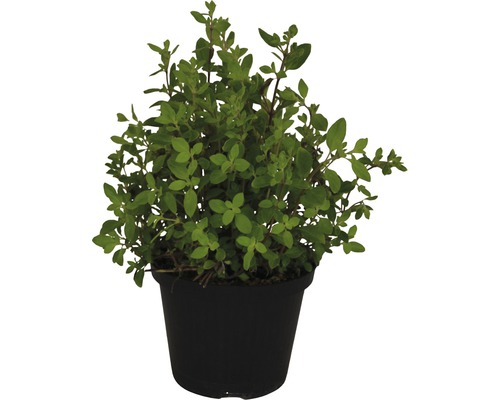 Origan FloraSelf Origanum vulgare ''Kreta'' pot de 12 cm de Ø
