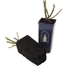 Rosier pour parterres Rosen Tantau Rose x Hybride «Pastella» racines emballées-thumb-1