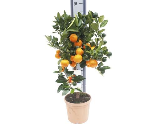 Oranger FloraSelf Citrus calamondin H 60-70 cm pot Ø 19 cm