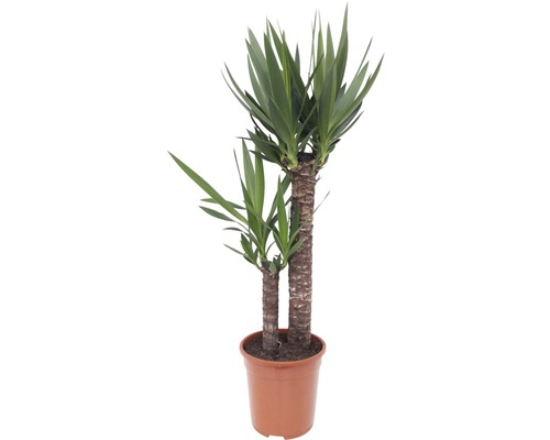Yucca gigantea, yucca FloraSelf Yucca elephantipes H 90-100 cm Ø 21 cm pot