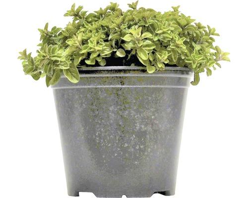 Origan FloraSelf Origanum vulgare H 10-13 cm Co 1,2 l