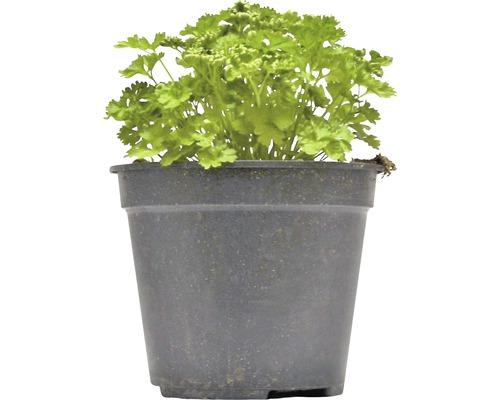 Persil frisé FloraSelf Petroselium crispum H 10-13 cm Co 1,2 l