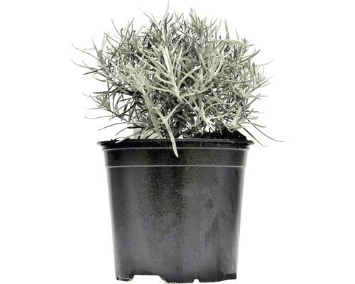Immortelle d''Italie FloraSelf Helichrysum italicum H 10-13 cm Co 1,2 l