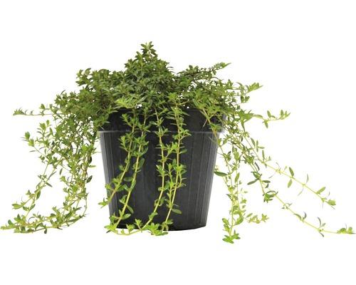 Sarriette d''hiver FloraSelf Satureja montana H 10-13 cm Co 1,2 l