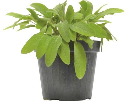 Sauge FloraSelf Salvia officinalis H 10-13 cm Co 1,2 l