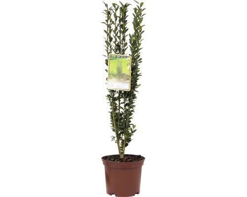 Houx japonais fastigié FloraSelf Ilex crenata ''Fastigiata'' H30-40cm Co 2L