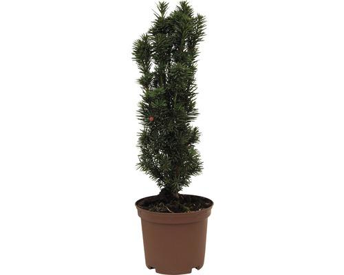 Säuleneibe FloraSelf Taxus baccata ''Fastigiata Robusta'' H 30-40 cm Co 3,5 L