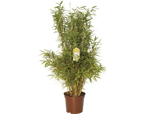Bambou de jardin au port droit FloraSelf Fargesia murielae ''Jumbo'' H60-80 cm Co 7,5 l