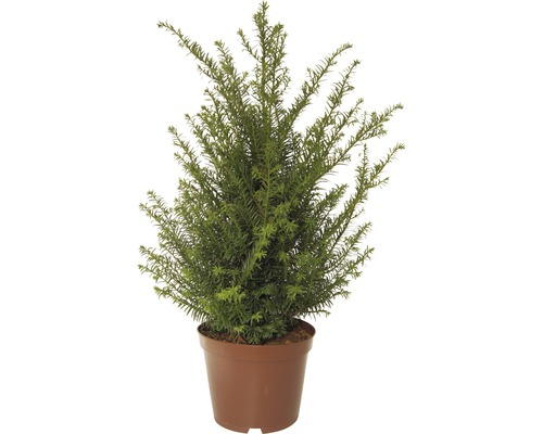 If Taxus baccata H40-50cm Co 5L