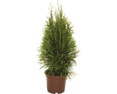 Thuya Smaragd 30-40 cm