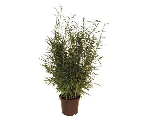 Bambou de jardin au port droit FloraSelf Fargesia murielae ''Jumbo'' H 40-60 cm Co 5 l