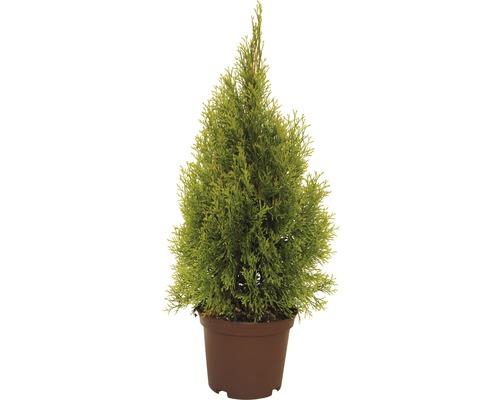 Thuja doré 40-60 cm