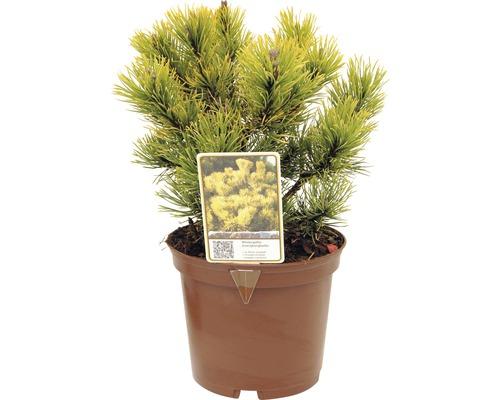 Bergkiefer FloraSelf Pinus mugo ''Carstens Wintergold'' H 15-20 cm Co 2 L