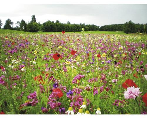 Semences de prairies de fleurs Kiepenkerl floraison durable 1kg 200m²