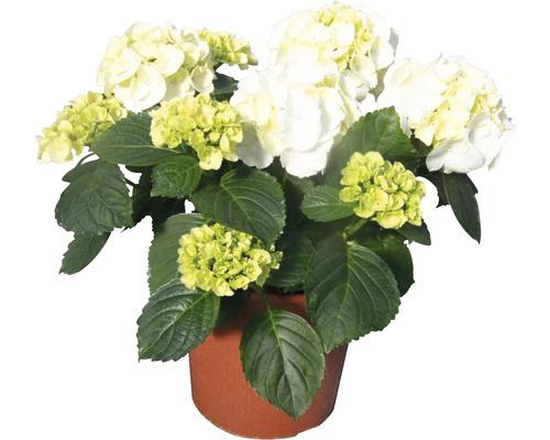 Hortensia buisson FloraSelf® Hydrangea macrophylla blanc pot de 18cm