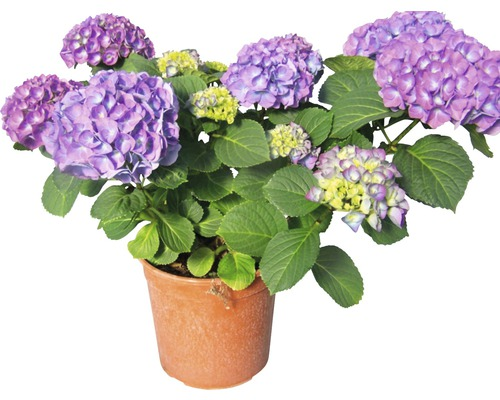 Hortensia buisson FloraSelf® Hydrangea macrophylla bleu pot de 18cm